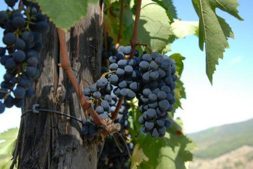 Drastico calo delle produzioni di uve da vino